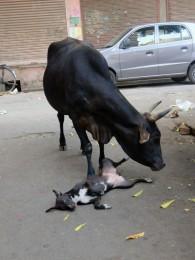 Heilige Kuh Kuh beim schmusen