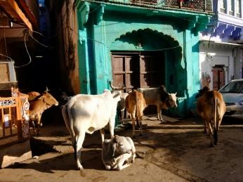 Jeden Morgen warteten Kühe vor den Häusern darauf mit chiapati und Gemüseresten gefüttert zu werden.