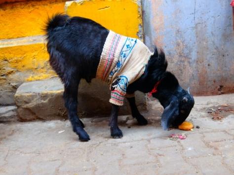 Im Winter bekommen Ziegen, Kühe und Hunde oft Pullover und Decken angezogen.
