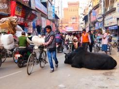 Heilige Kühe lassen sich überall nieder und da stört sie auch der dickste Verkehr Nicht